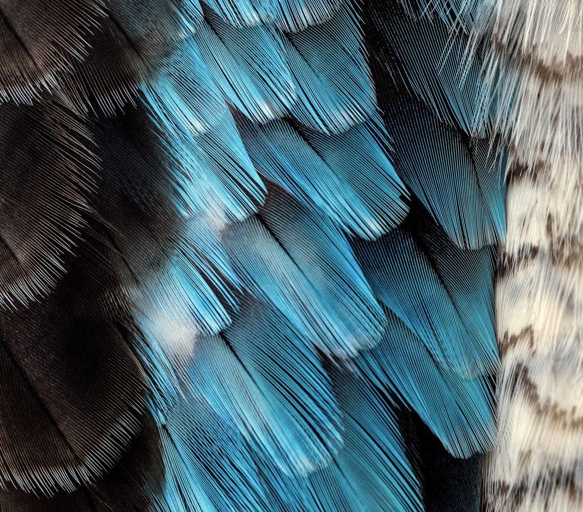 Image de plumes noires, bleues et blanches en rapport avec l'article